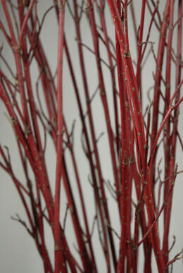 Natural Dogwood Branches