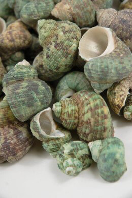 Turquoise Sea Shells 2 lb. Bag