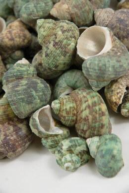 Turquoise Sea Shells 2 lb. Bag