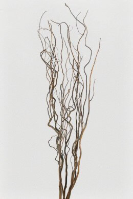 Dried Curly Willow Branches 5 Ft