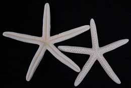 White Finger Starfish 4-6in (Pack of 10)