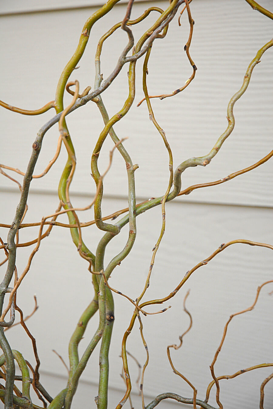 10 Curly Willow Branches 36in