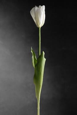 28.5 French Tulip Spray Green