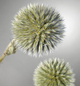 Natural Globe Thistle Preserved (19-20 stems)