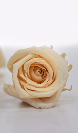 Preserved Roses 1in Pale Peach (12 roses)