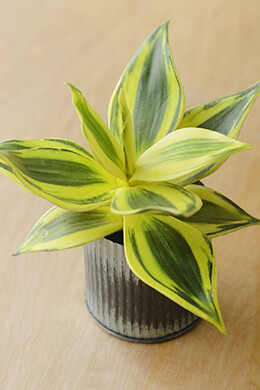 Mini Agave Plant Leaves 8 x7  Green & Yellow