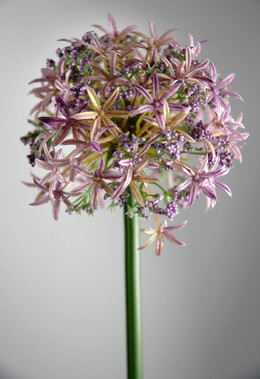 Allium Flowers Lavender 31in