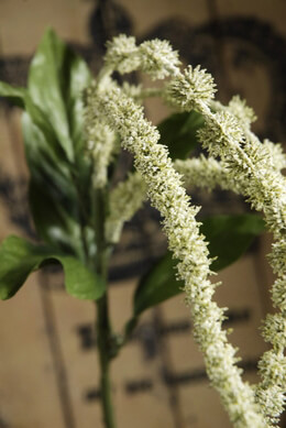 Artificial Amaranthus Cream