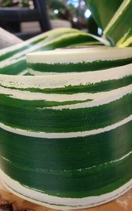 "Variegated Aspidistra Leaf 4"" Ribbon Green & Cream  50 yards"