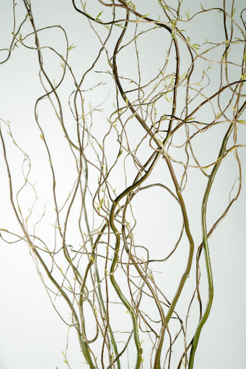 "Curly Willow ""New Crop""  Branches 46"""