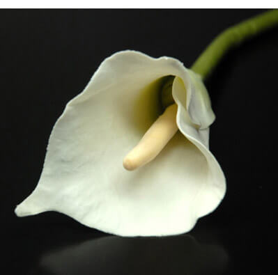 Silk Calla Lilies Cream White 24in  (12 flowers)