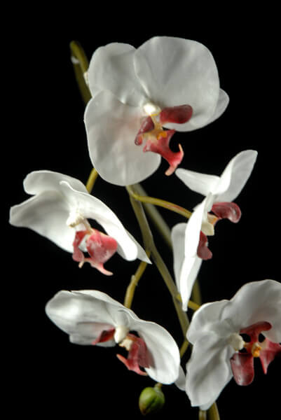 Natural Touch 36in Phalaenopsis Orchid Flowers Cream White & Burgundy