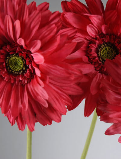 Red Gerbera Daisies 7in (12 flowers)