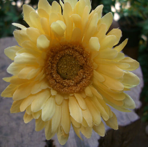 Yellow Gerbera Daisies  (12 flowers)