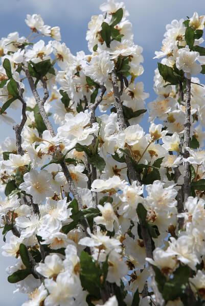 Cherry Blossom Branches White Artificial 32 in