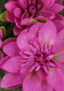 Fuchsia Pink Large Floating Lily Flower with 3 flowers