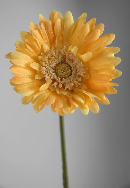 Gerber Daisies Yellow (12 flowers)