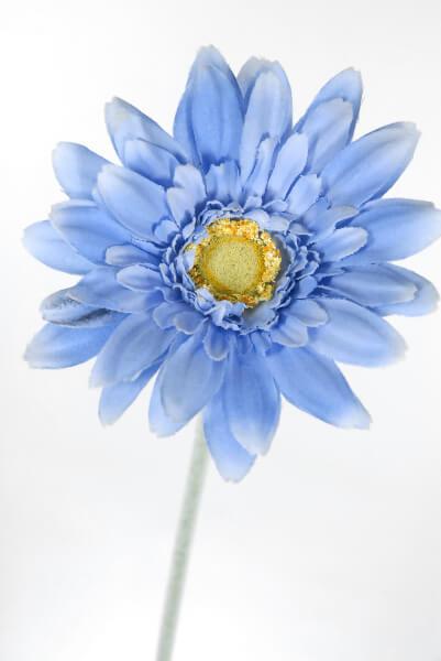 Gerbera Daisies Periwinkle  (24 flowers)