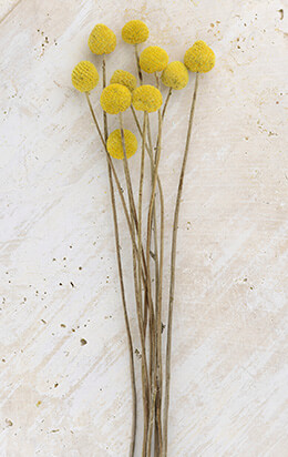 Preserved Billy Buttons Craspedia (Pack of 10)