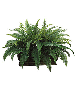 Boston Fern in Long Metal Container 17in