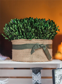 Preserved Boxwood in Burlap 13in