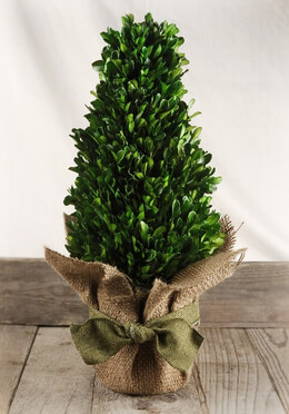 Boxwood Tree Preserved 16""