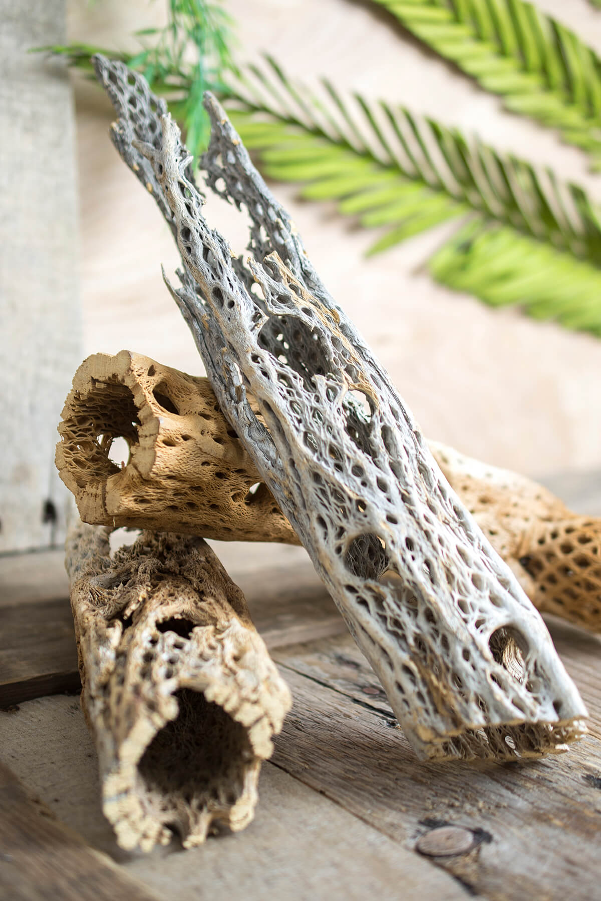 Cholla Cactus Wood 10-12 inch