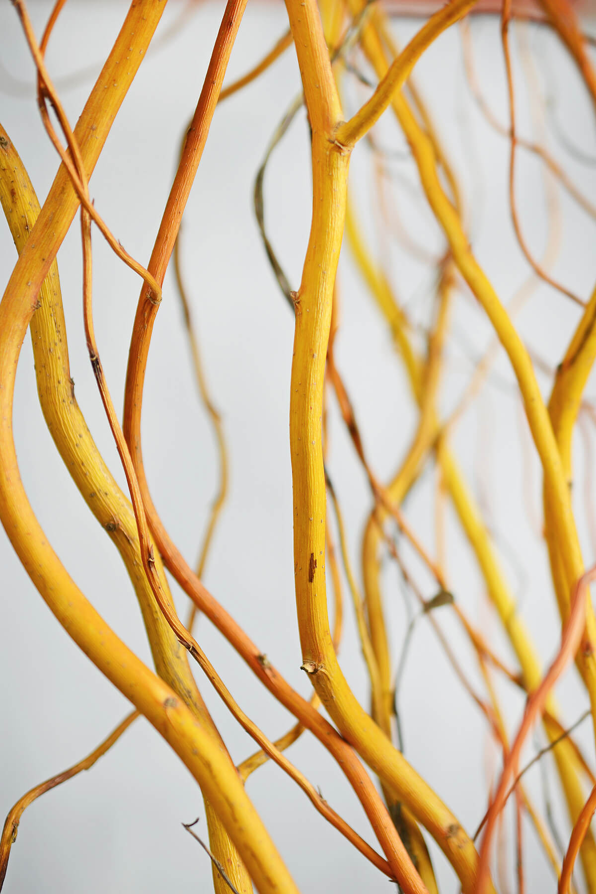 Orange & Yellow Curly Willow  Branches 4-5FT