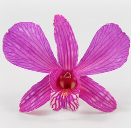 30 Preserved Bright Pink Orchid Flowers