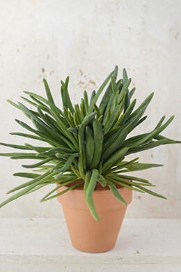 Succulent Blue Chalk Fingers Plant	10in Green