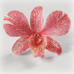 30 Butterfly Pink Orchid Flowers Heads Freeze Dried