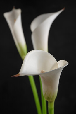 Calla Lilies White (12 flowers)
