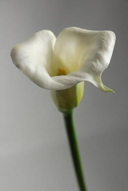 Real Touch Calla Lily in White 27""