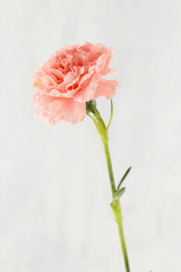 Carnation Flower Pink 21in