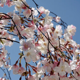 Silk Cherry Blossom Branches 58""