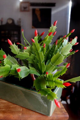 "Succulents Christmas Cactus Pick 10"" Red & Green"