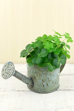 "Shamrocks in  7"" Watering Can"