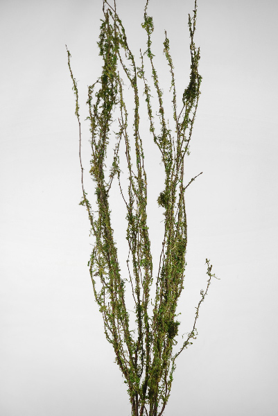 "Moss Covered 48""  Coastal Range Natural Branches  3-4 branches"