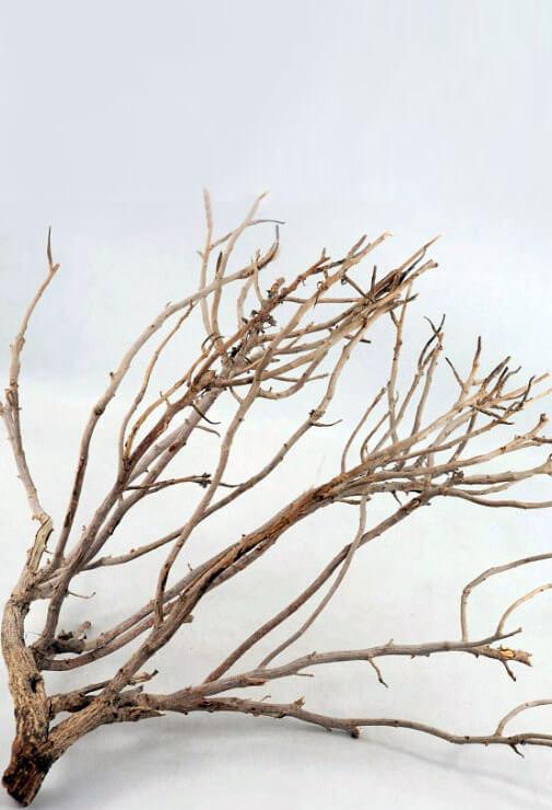 "Coral Bush 16-18"" tall"