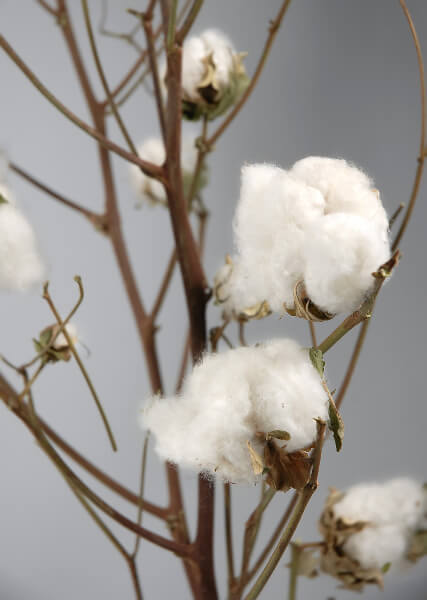 Cotton Branches with Raw Cotton Bolls 27in