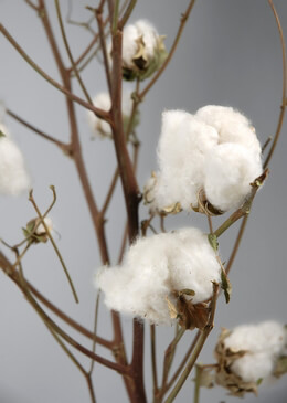 Natural Cotton Branches with Raw Cotton Bolls 27in