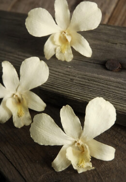 Cream White Preserved Orchid Flowers (30 flowers)