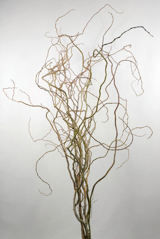 Natural Curly Willow 30 - 38 in. 12 branches