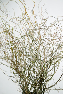 Fresh Cut Natural Curly Willow Branches 36-40in (11 branches)