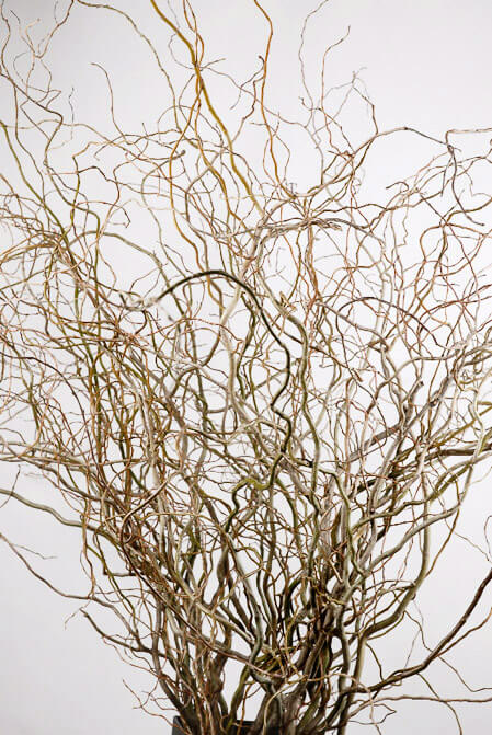 Natural Curly Willow Branches 36-40in NEW CROP (11 branches)