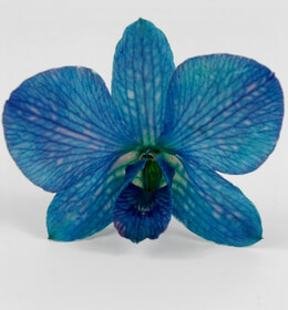 30 Preserved Orchid Flowers Cerulean Blue