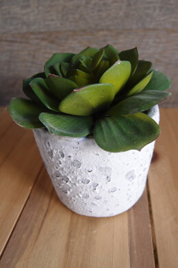 "Potted 4"" Echeveria Succulent"