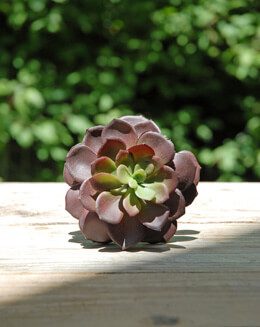 Echeveria Pick Burgundy 8in