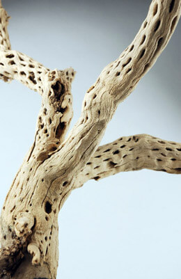 Cholla Branch 15in, Exotic Wood