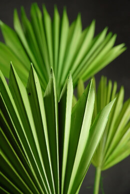 Natural Palm Leaf Fans Leaves | Pack of 5